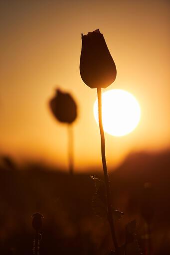 Mohnblüten im Sonnenuntergang